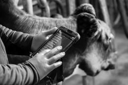 Zoetis presenta Smartbow, dispositivo de monitorización de vacas lecheras para la mejora de su salud y productividad