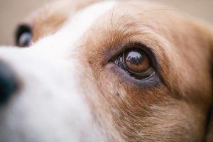 Pharmadiet Veterinaria ojos