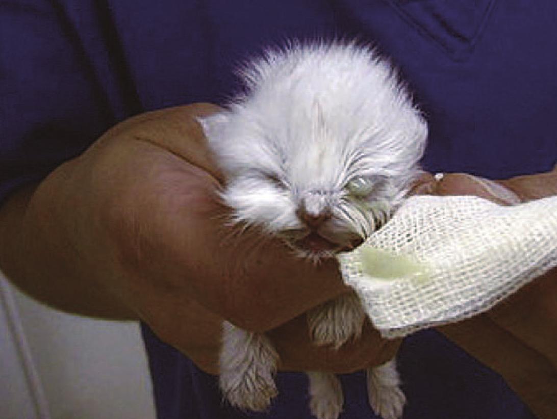 Infección ocular de gatito de 9 semanas de edad