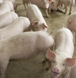 AXON COMUNICACION, NOTICIAS VETERINARIAS, Monitorización de pirámides productivas de porcino