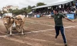 AXON COMUNICACION, Denuncian como maltrato animal el 'arrastre de ganado' en Canarias