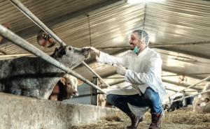 AXON COMUNICACION, Terapia de fluidos para vacas lecheras