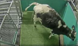 AXON COMUNICACION, Investigadores enseñan a vacas a usar letrinas para reducir las emisiones de amoniaco
