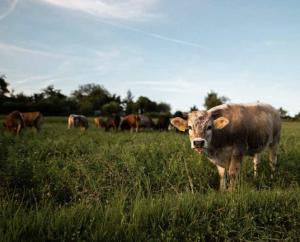 AXON COMUNICACION, Usar el conocimiento del comportamiento social del ganado para mejorar el bienestar