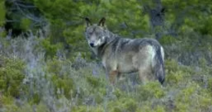 AXON COMUNICACION, Convivencia entre humanos y el lobo es posible