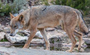 AXON COMUNICACION, Lobo Ibérico; prohibida su caza