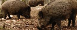 AXON COMUNICACION, Control mundial de la peste porcina africana