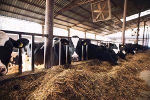 AXON COMUNICACION, Respuestas en los metabolitos sanguíneos y el estado inmunitario de las vacas lecheras en transición suplementadas con cloruro de colina encapsulado (Bychol®)